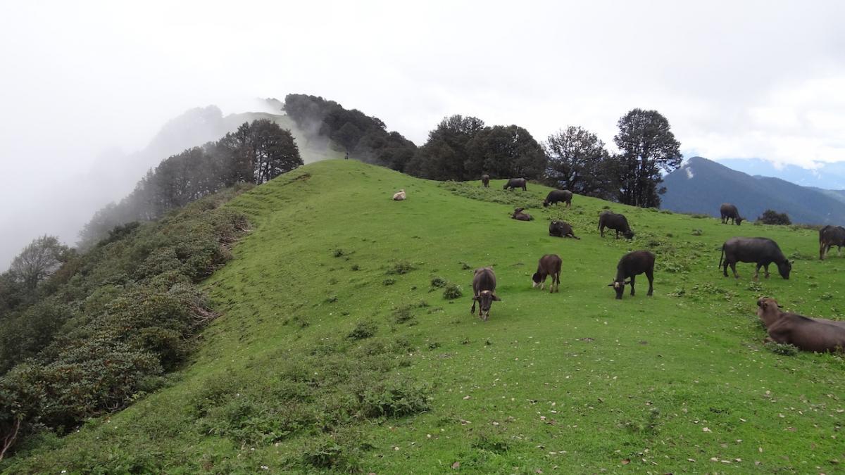 Czarne krowy i byki pasące się na przełęczy