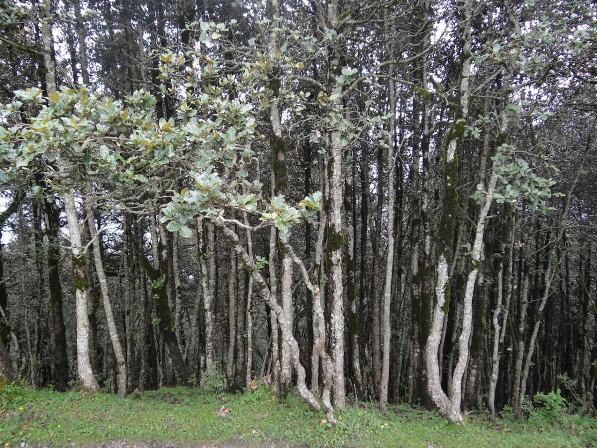 Las charakterystyczny na wysokości ok. 3000 m n.p.m.
