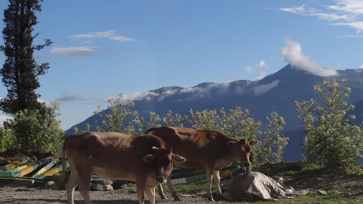 I pasące się górskie krowy