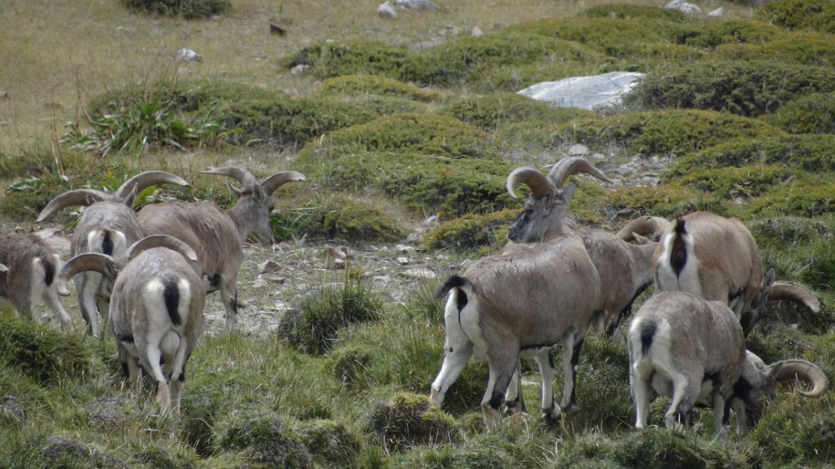 Argali czyli muflony himalajskie w Rezerwacie Przyrody Kibber