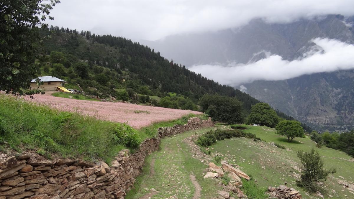 Na polach uprawnych khandy