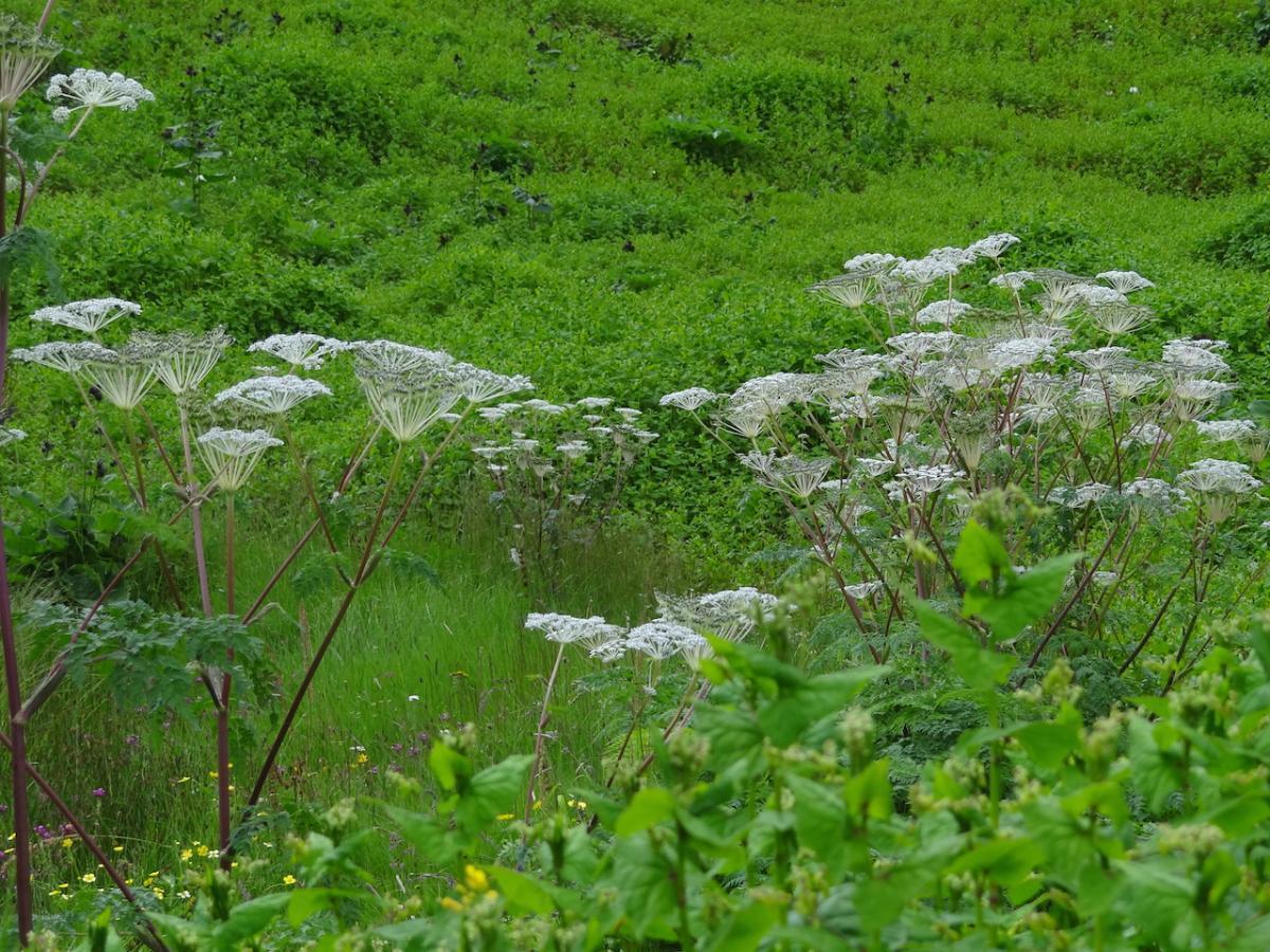 Kwiaty Himalajów
