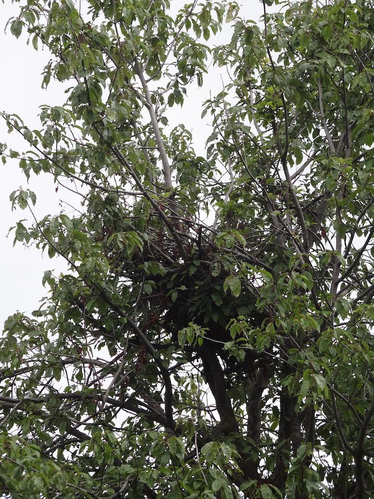 Gniazdo niedźwiedzia na drzewie
