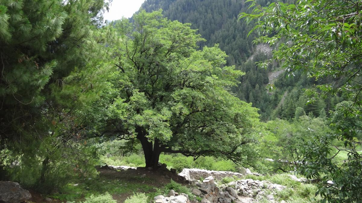 Nieco niżej - potężne drzewa orzechowe