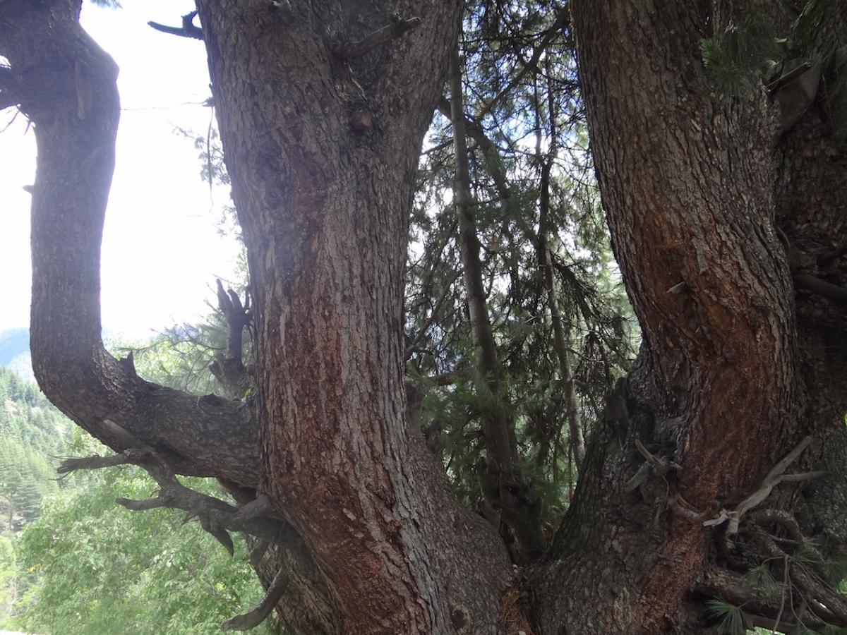 Stare drzewo: tu na pewno mieszka jaksza